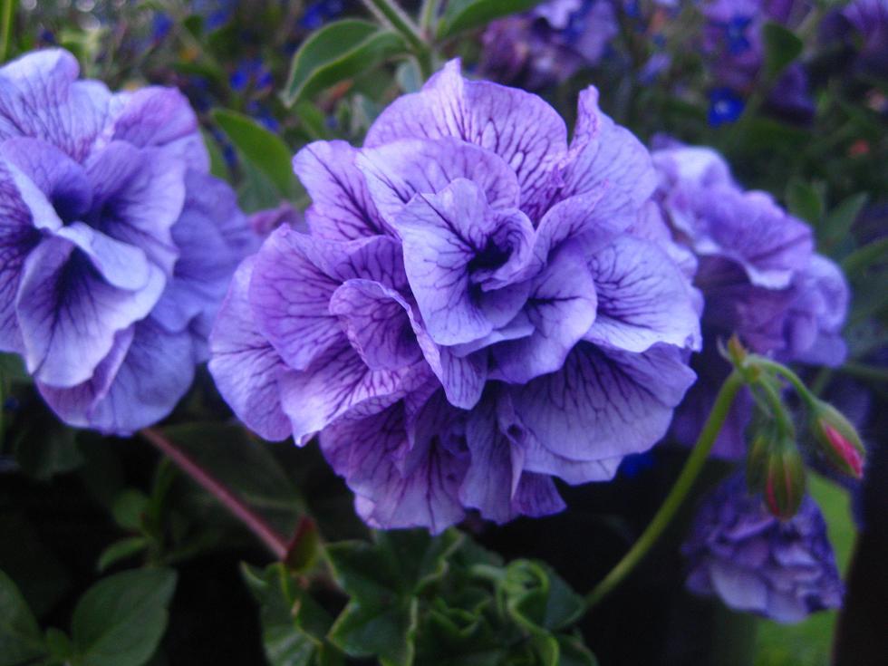 pretty purple flower, Beautiful flower