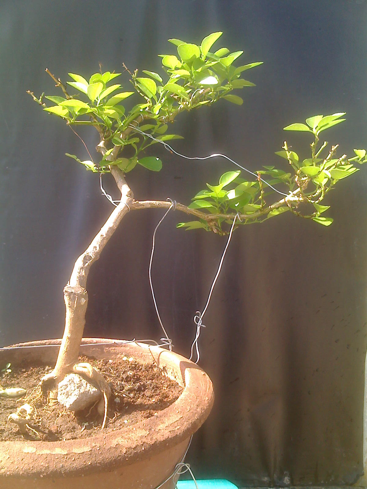 Indian Bonsai Citrus Tree 4 Years