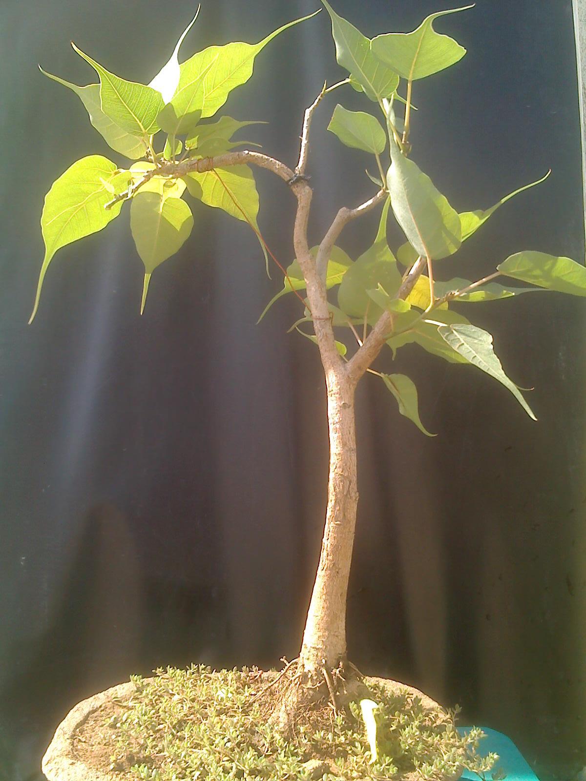 Solidago Hispida as well Aplectrum Hyemale further Corngermplasm besides  additionally Helichrysum Plicatum Ssp Plicatum. on plant life
