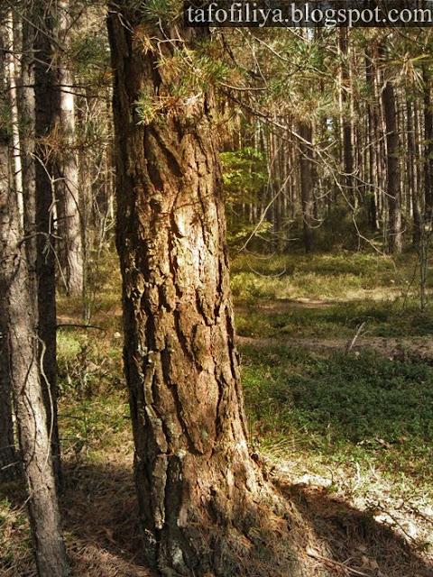 лес, деревья, природа, стволы, кора