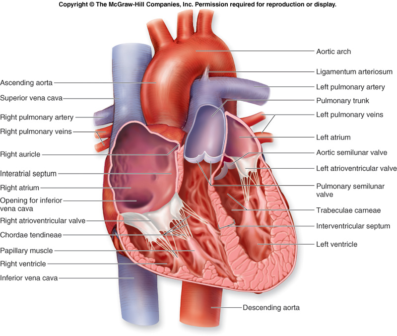 human heart: internal structure of heart, Muscles