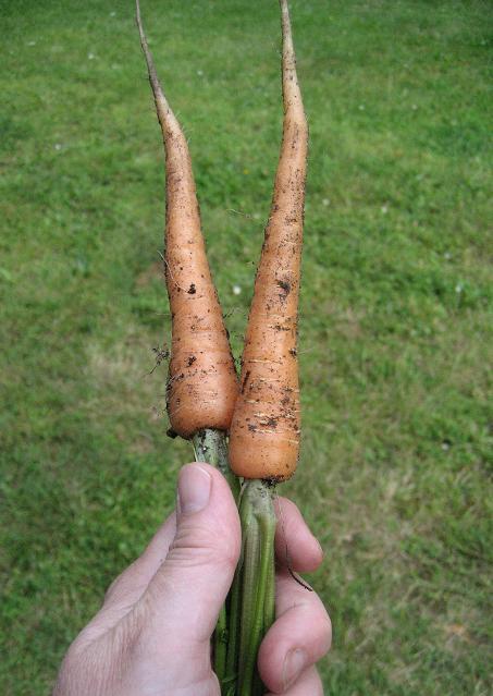 Mucky Boots Farm: Carrots