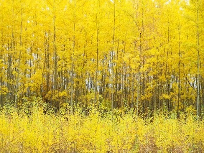 Saskatchewan, fall, yellow trees, changing leaves, Saskatchewan fall, Canadian fall, Canada, Saskatchewan forest, Boreal forest