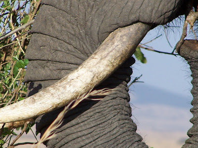 Africa, African elephant, elephant close up, inspiration shot
