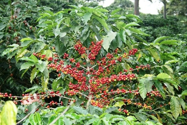 Todo sobre plantas cultivo casero del caf a partir de for En cuanto tiempo se cosecha la tilapia