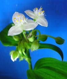 Традесканция белоцветковая Tradescantia Albiflora