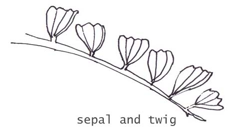 sepal and twig