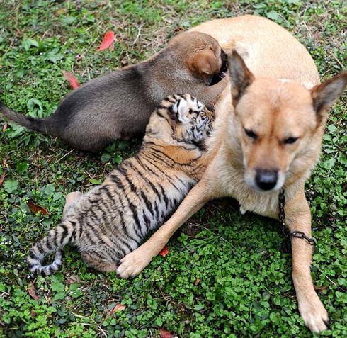 Persahabatan Antara Anjing dan Harimau - the facemash post