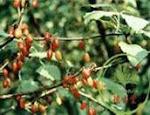 Fructus Corni Officinalis