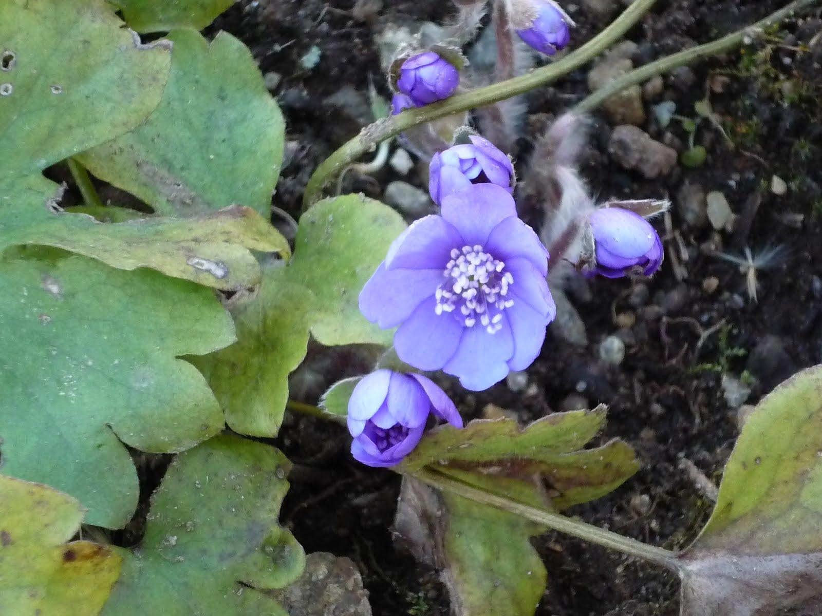 Trädgårdslivet på lindön: krokusar och blåa sippor!!!!