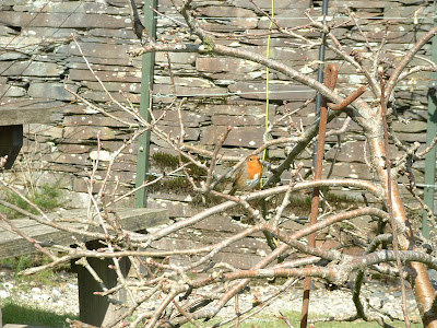 Robin Red Breast hiding in a tree