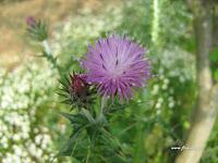 Γαιδουράγκαθο-Silybum marianum