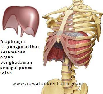 Diaphragm melitupi organ pencernaan yang terdiri daripada perut, hati, limpa, pankreas dan hempedu