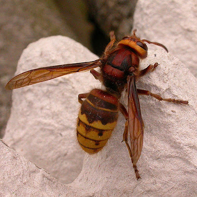 Hornet - superb insect  unless you stick your thumb on it when    Queen Hornet Insect
