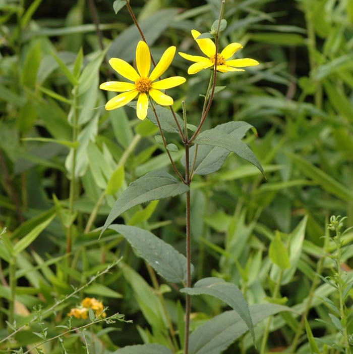 Go back gt gallery for gt helianthus hirsutus