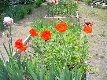 Oriental Poppy - Growing Seeds!