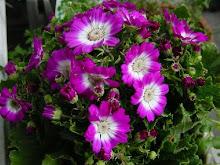 Flor Sempre-viva
