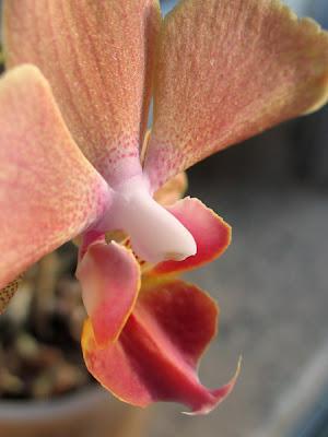 Orchidée phalaenopsis 007 - Leuze-en-Hainaut - Belgique - Anne-Sarine Limpens - 2008