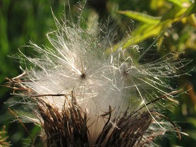 Semences de cirse des prairies 002 - Leuze-en-Hainaut - Belgique - Anne-Sarine Limpens 2008