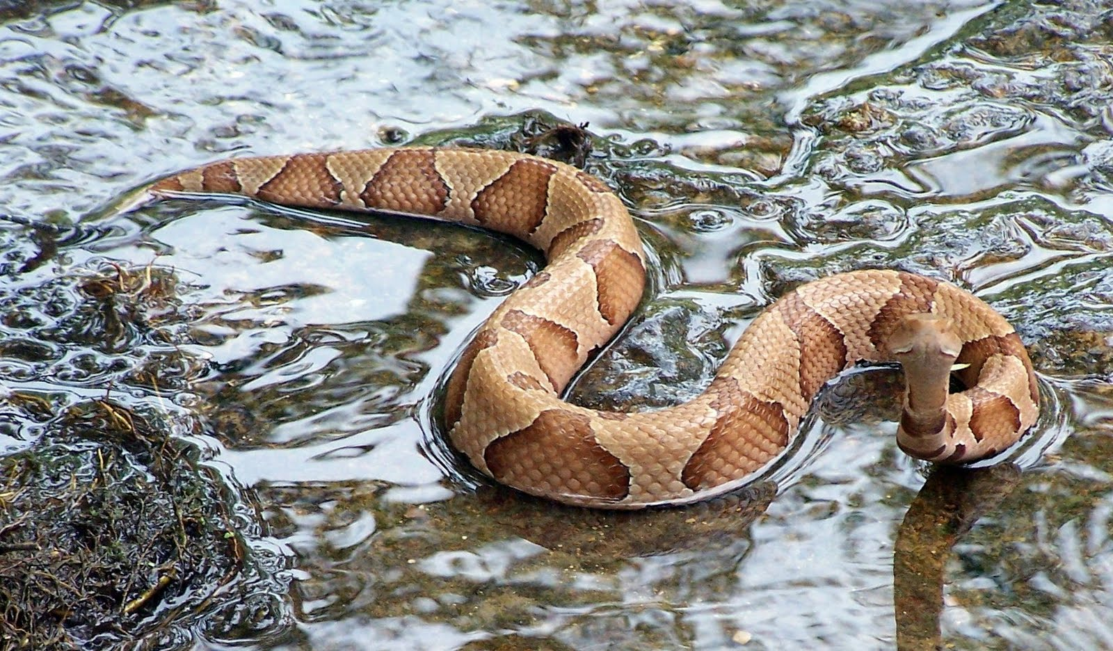 Northern Water Snake - National Wildlife Federation