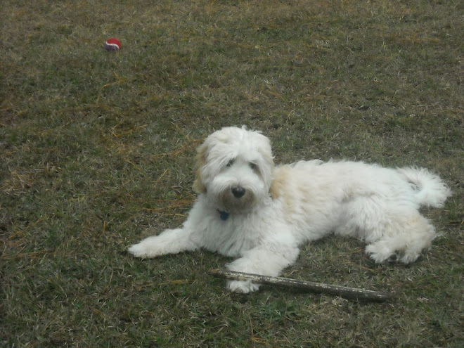 Lily the Lovley Labradoodle II