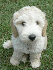 Lily the Lovely Labradoodle I