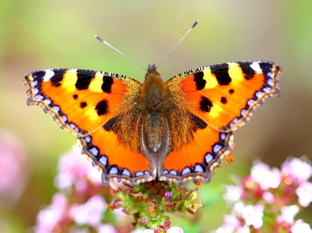 Bildresultat för fjärilar