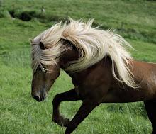 hermosa imagen de un caballo islandés recuerdo del viaje de Arturo y María Luisa