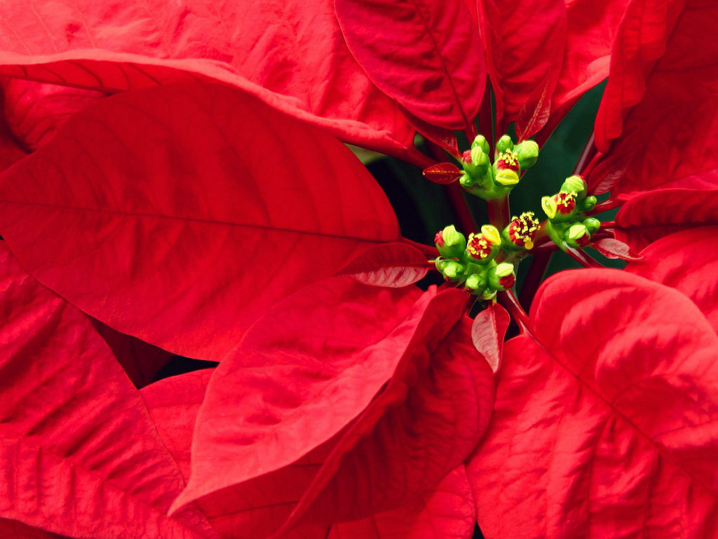 Free Holiday Wallpapers Christmas Poinsettia Wallpapers