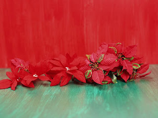 Christmas Poinsettia Wallpapers