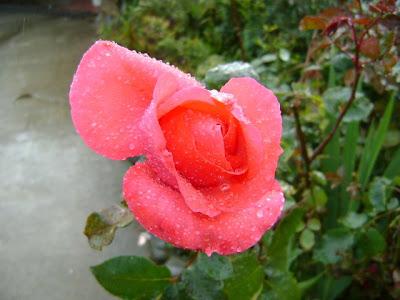 Jardin mary el preferido injertos en rosas nuevos - Como injertar rosales ...