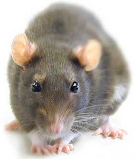 animales ratas
