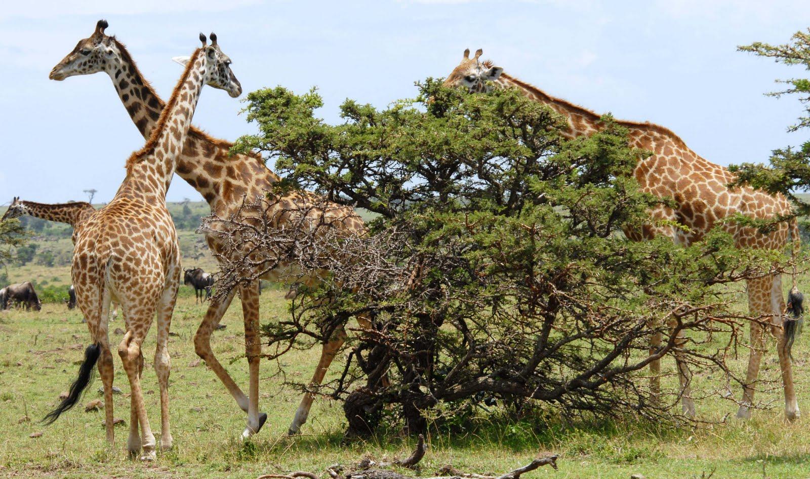 hvad spiser en giraf