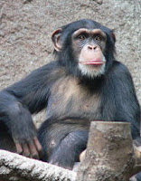 chimp chromosone