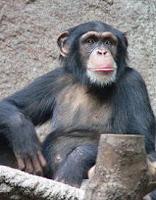chimp chromosone