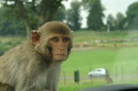 monkey herpes