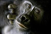 gorilla meat eater