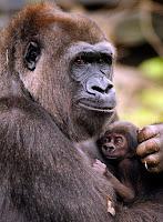 gorilla disney