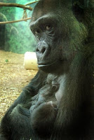 gorilla injured