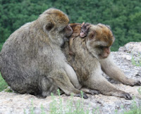 monkey males