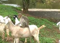 monkey shepard