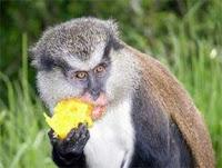 monkey theft