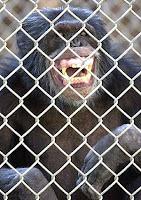moe chimp