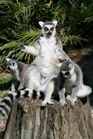 dominant female lemurs