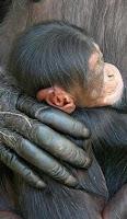 george chimp baby