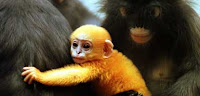 primate extinction
