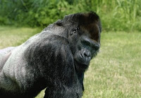 FRANK the gorilla