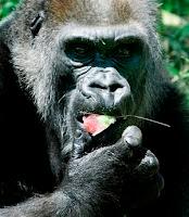 jenny the gorilla