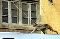 monkey slaps cop