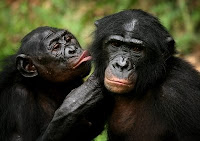 bonobos cannibal